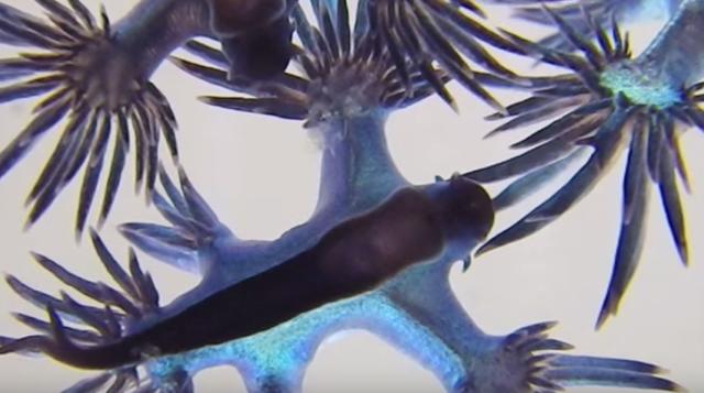 Glaucilla marginata: Beautiful blue sea slugs or nudibranches