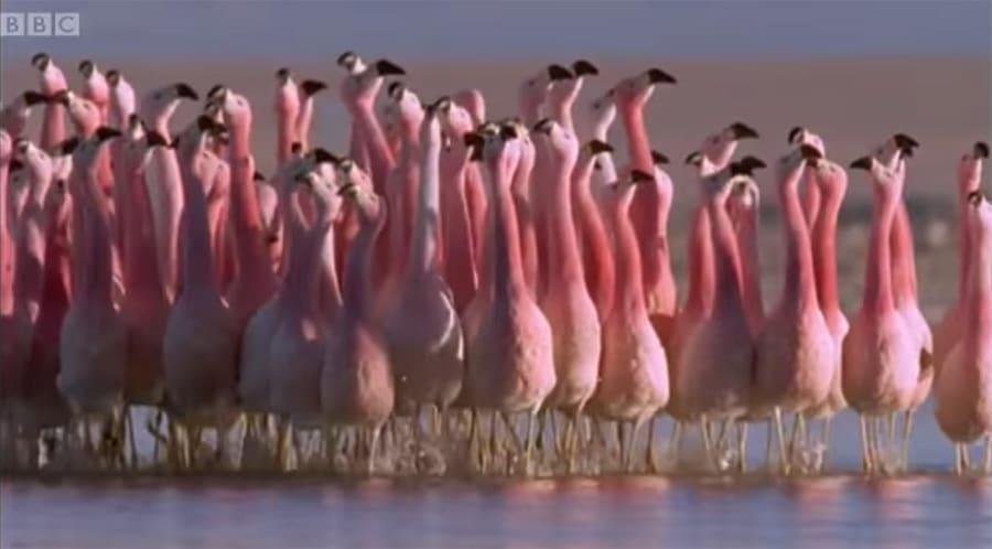 Flamingos dancing