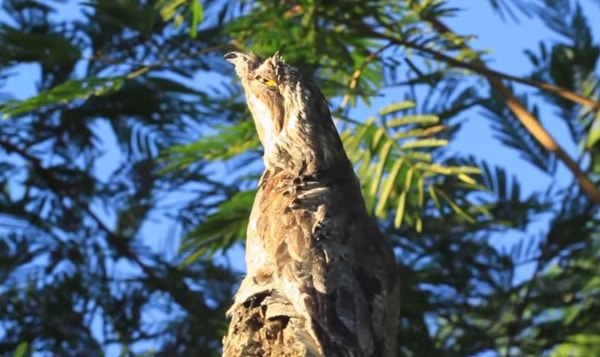 The spectacular common potoo – Planet Paraguay