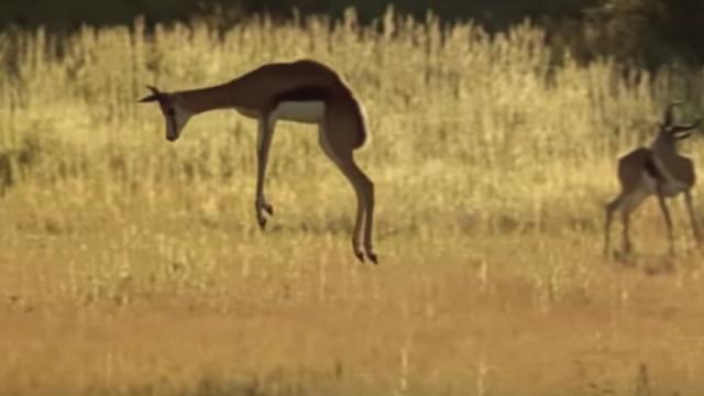 Springboks pronking –BBC Africa