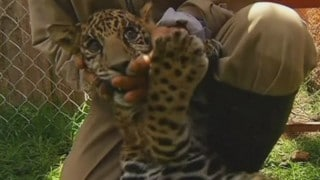 A rare black jaguar cub is born at Zacango Zoo