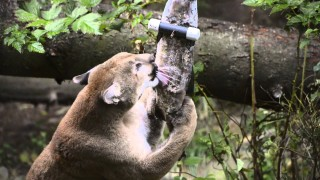 Cougar vs. a frozen salmon – Keeping big cats well-exercised