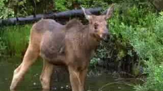 A Moose Name Madeline: Symbiosis with a beaver
