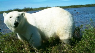 Polar Bears Eat Goose Eggs
