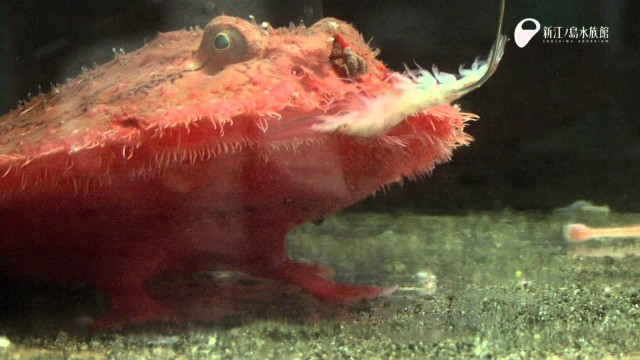 Enoshima Aquarium: Red Batfish or Starry Handfish