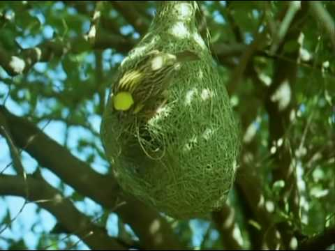 Weaver Birds design and build intricate nests