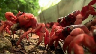 Behind the scenes: Red crab migration on Christmas Island