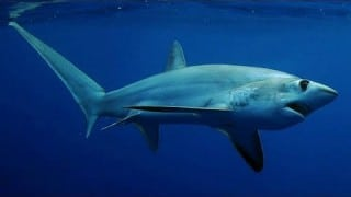 ScienceTake: Thresher Shark's Deadly Tail