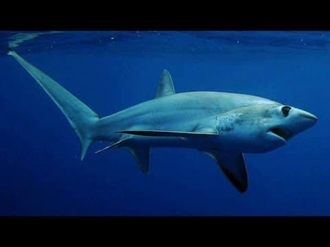 Thresher Shark's Deadly Tail –ScienceTake