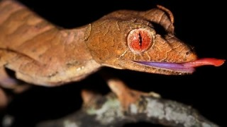 The Leaf-tailed Geckos (Uroplatus) of Madagascar