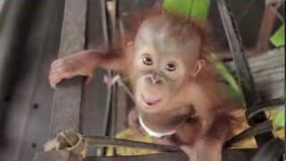 Baby Orangutan Rickina