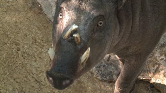 The Houston Zoo's Babirusa