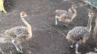 Baby ostriches dancing in circles