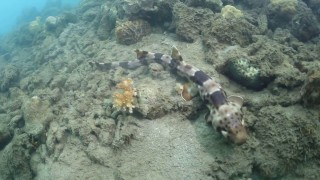 The shark that walks: The bamboo shark or longtail carpet shark