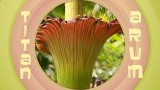 Huge and stinky: Titan Arum, The Corpse Flower
