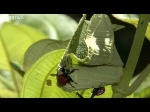 The Giraffe Weevil – BBC Madagascar