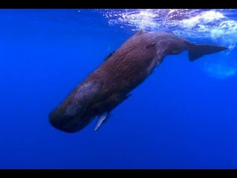 A Baby Sperm Whale Swims on Its Own