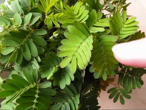 Mimosa pudica & rapid plant movement