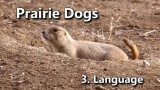 Decoding the language of Prairie Dogs: America's Meerkats