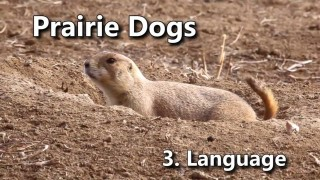Decoding the language of Prairie Dogs: America's Meerkats