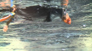 "Puffins ""fly"" underwater at the Monterey Bay Aquarium"