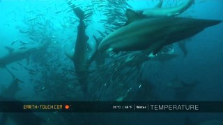 Incredible sardine run feeding frenzy