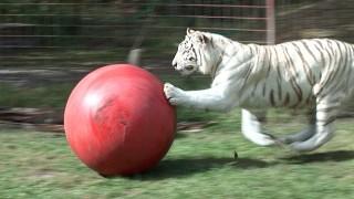 White Tiger Zabu plays with her ball