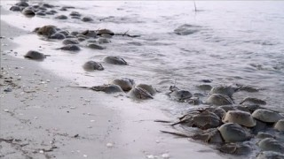 Science on the SPOT: Rendezvous With Horseshoe Crabs