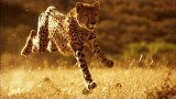 Why You Can't Outrun a Cheetah
