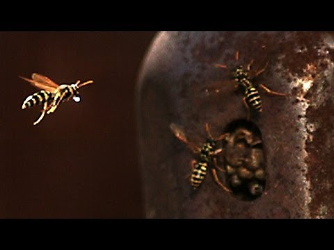 Thirsty Wasp brings water to nest in slow motion