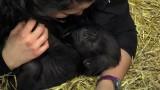 Baby Gorilla Gladys at the Cincinnati Zoo