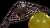 A Goshawk hunts in slow motion