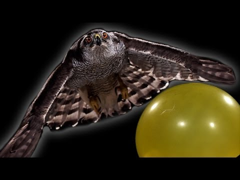 A Goshawk hunts in slow motion