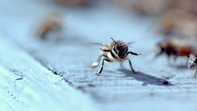 Dance of the Honey Bee –A documentary short film
