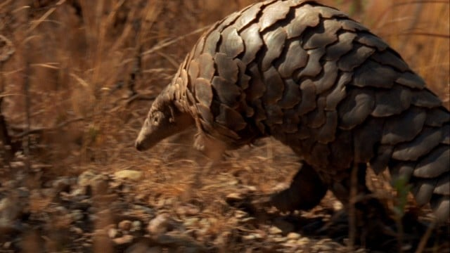 Nat Geo Wild: The Pangolin