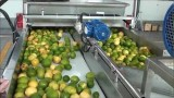 Jiggling fruit on conveyor belts