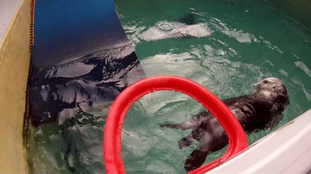 Eddie the Sea Otter plays basketball in the pool