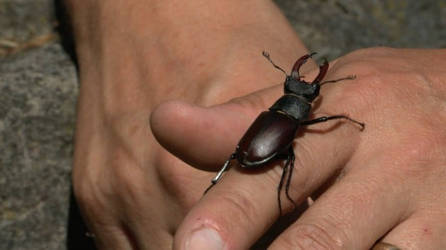 A stag beetle, a long-horned beetle, & a tube web spider