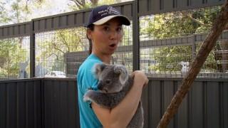 Koala Hospital: Caring for fluffy marsupials in Port Macquarie