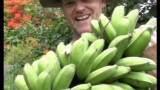 How to harvest a large bunch of Lady Finger bananas