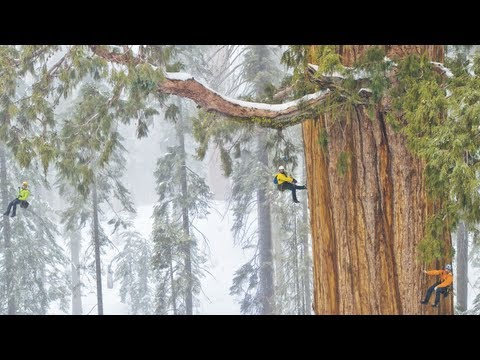 Magnificent Giant Tree: Sequoia in a Snowstorm