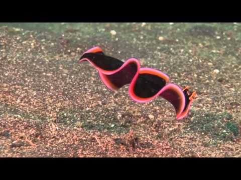 A brightly colored flatworm filmed in the waters of Sulawesi, Indonesia