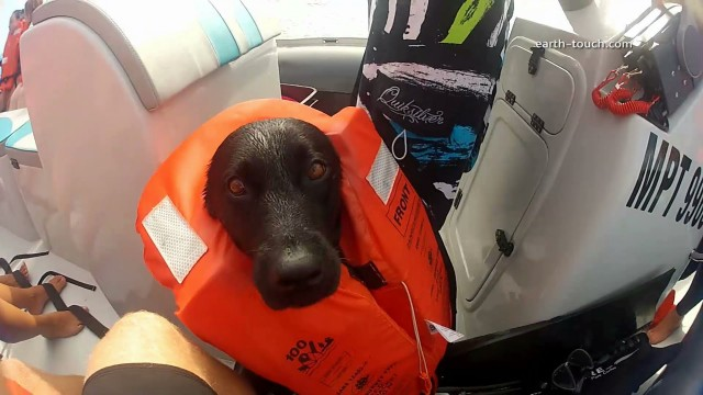 Kira the dog swims with wild dolphins