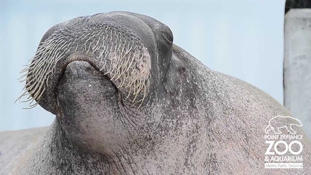 E.T. the Walrus vocalizes at Point Defiance Zoo & Aquarium