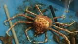 Molting Japanese spider crab time lapse –Enoshima Aquarium
