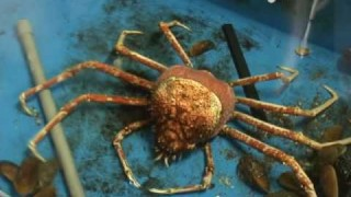 Enoshima Aquarium: Molting Japanese spider crab time lapse
