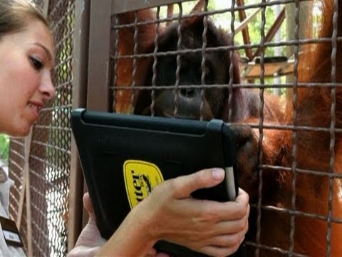 Orangutans use iPads to order lunch and more