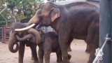 A daddy Asian Elephant that cuddles his calf