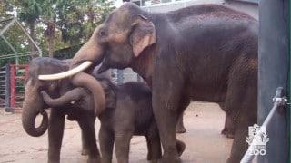 A daddy Asian Elephant that cuddles his calf