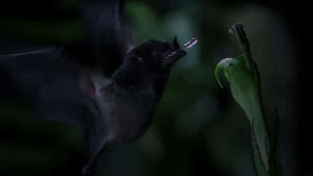 The Tube-Lipped Nectar Bat has a crazy-long tongue